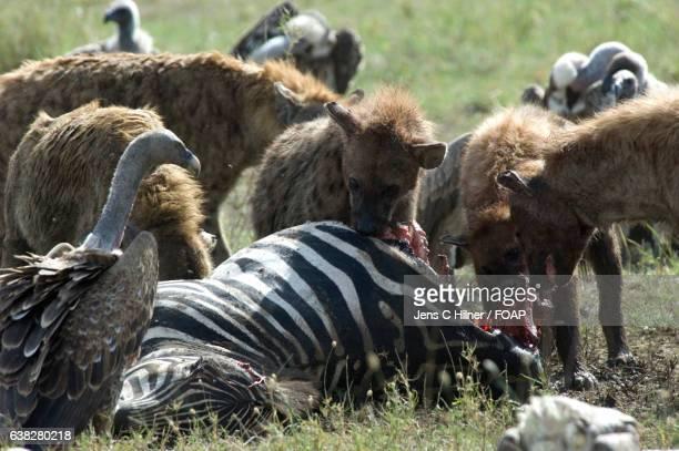 Hyena hunt zebra