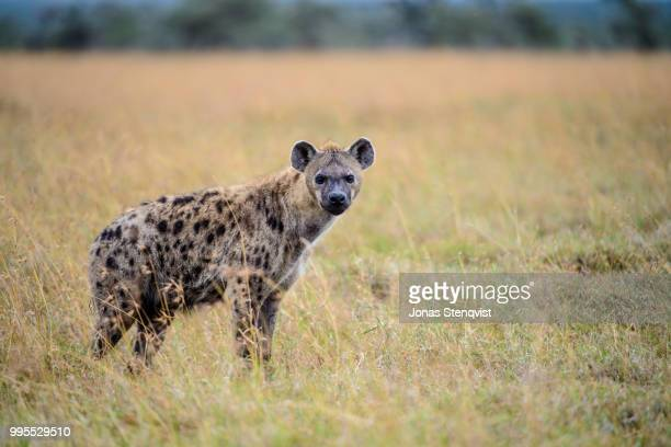 hyena in ol pejeta - spotted hyena stock pictures, royalty-free photos & images