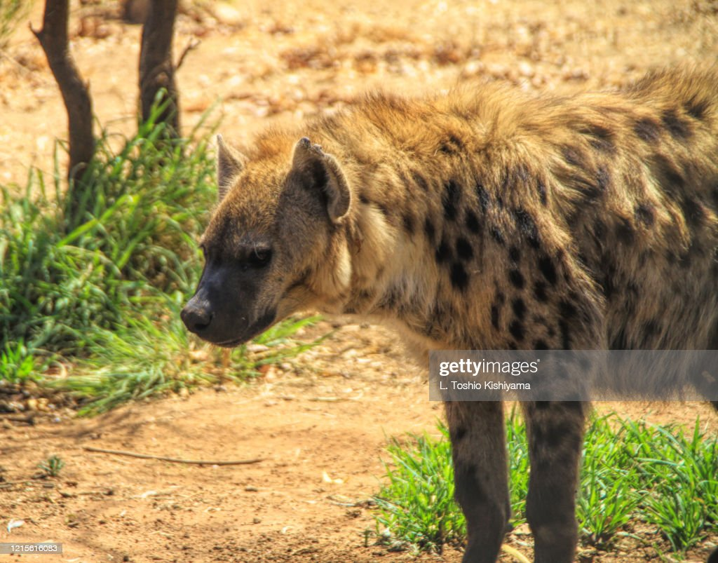 Hyena In South Africa High-Res Stock Photo - Getty Images