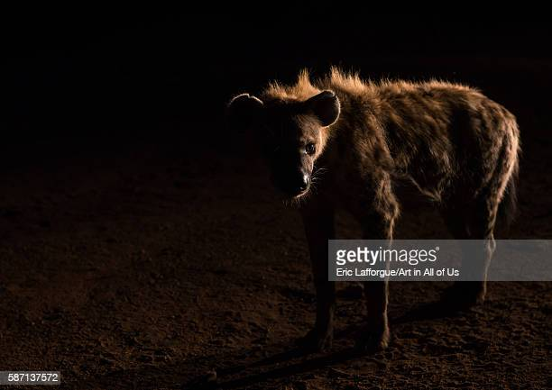 Hyena in the night harari region harar Ethiopia on March 3 2016 in Harar Ethiopia