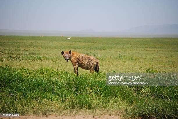 Hyena in the savana