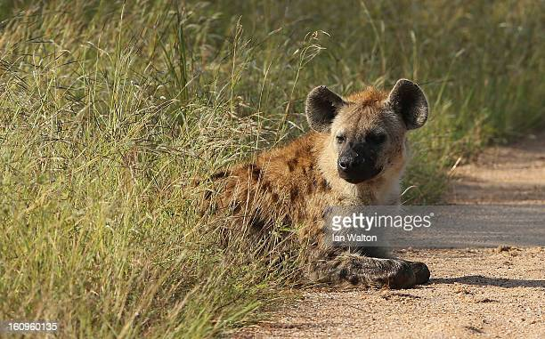 A hyena is pictured in Kruger National Park on February 6 2013 in Skukuza South Africa