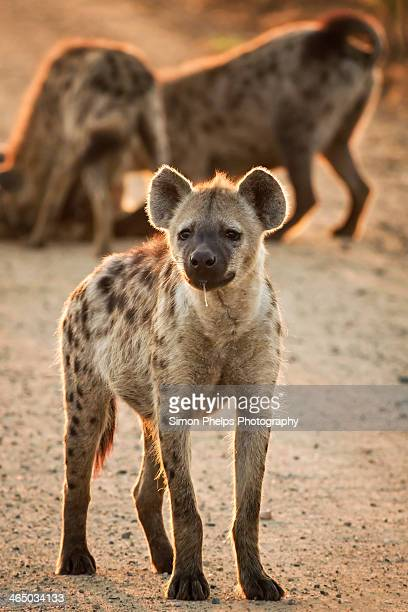 hyena, kruger national park, south africa - hyena stock pictures, royalty-free photos & images