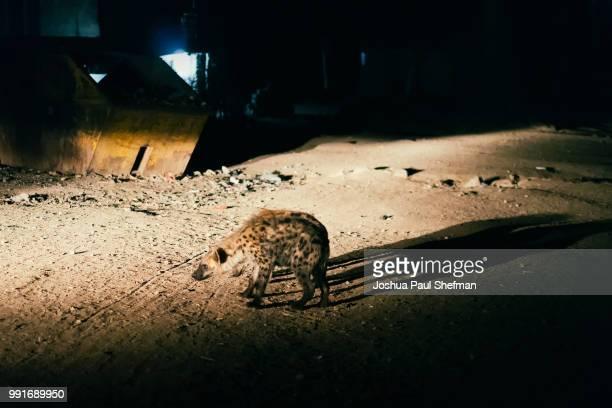 Hyena lurking for leftovers in Harar, Ethiopia