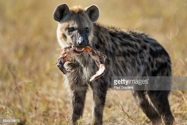 hyena, moremi game reserve, botswana - hyena stock pictures, royalty-free photos & images
