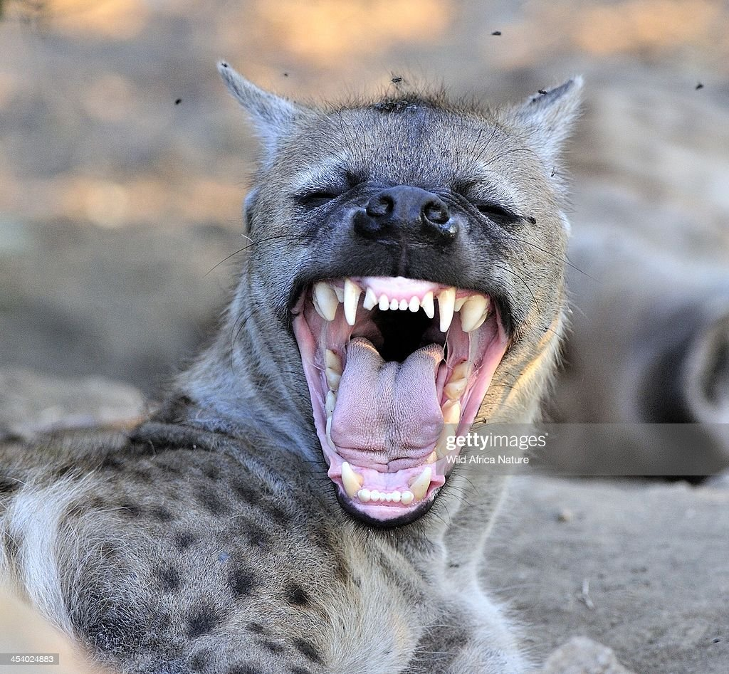 Hyena mother showing her teeth. : Stockfoto