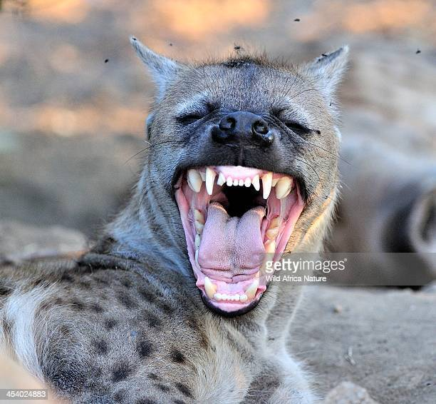 Hyena mother showing her teeth.
