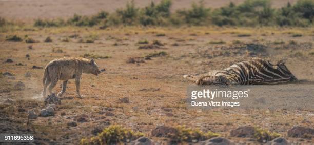Hyena near a dead zebra