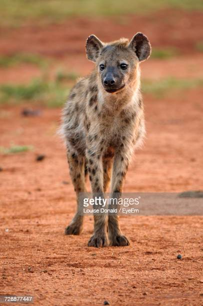 Hyena On Field