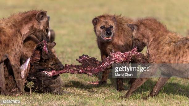 hyena pack feeding - hyena stock pictures, royalty-free photos & images