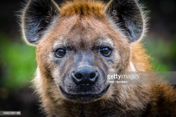 hyena - hyena stock pictures, royalty-free photos & images