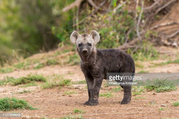 a hyena pup playing near the den with its mom closely watching them inside masai mara national reserve - wild dog stock pictures, royalty-free photos & images