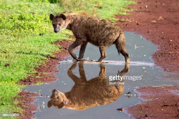 hyena reflecting in puddle, crater highlands, tanzania - hyena stock pictures, royalty-free photos & images