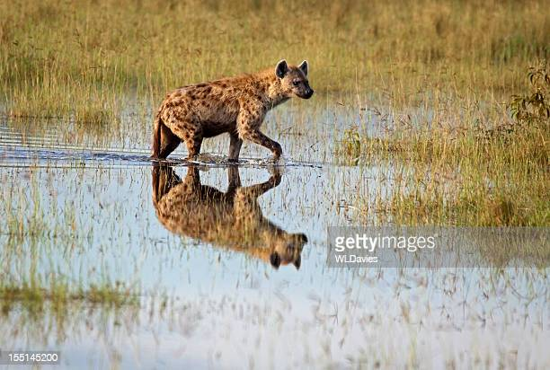 Hyena Reflection