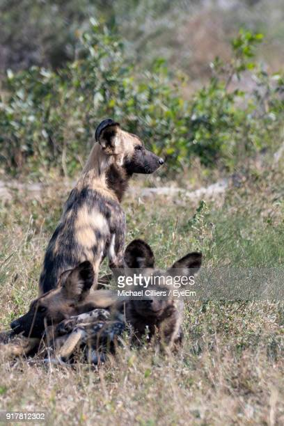 hyena relaxing on field - hyena stock pictures, royalty-free photos & images