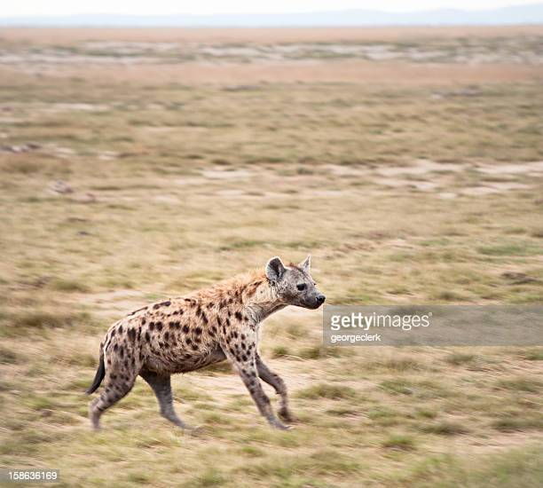Hyäne Running