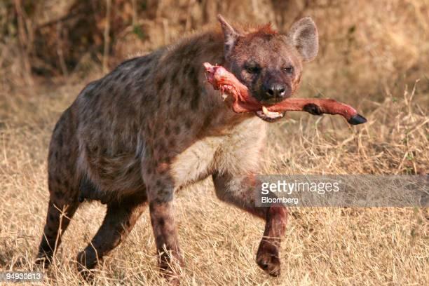 A hyena runs off with an impala leg after a kill in Okavango Delta Botswana on Sept 16 2008 A three week safari organized by Africa Adventure Company...