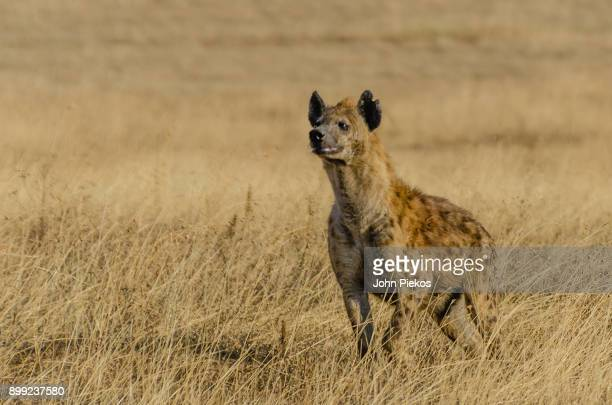 Hyena Sniffing the Air in Ngorogoro Crater, Tanzania