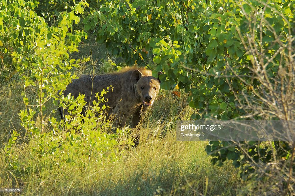 Hyena standing in a forest, Kruger National Park, Mpumalanga Province, South Africa : Stock Photo