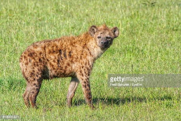 Hyena Standing In A Forest