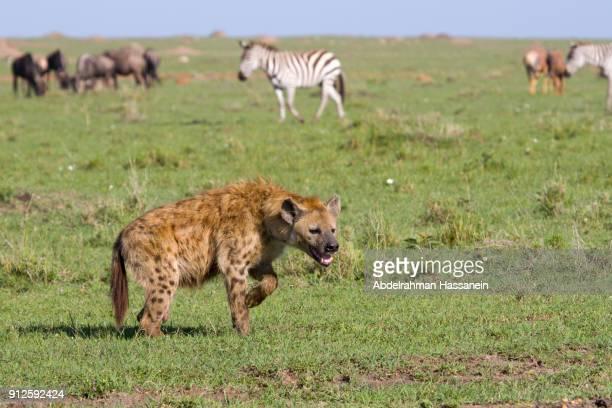 Hyena walking at Masai Mara