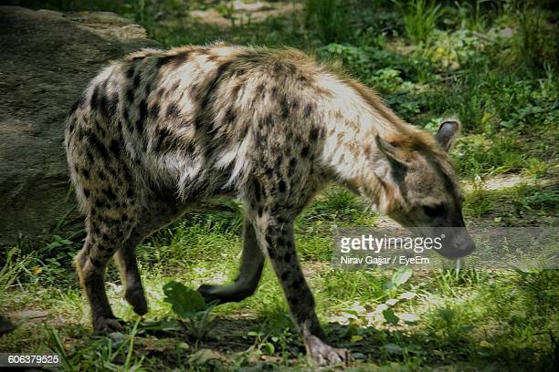 Hyena Walking On Field In Forest