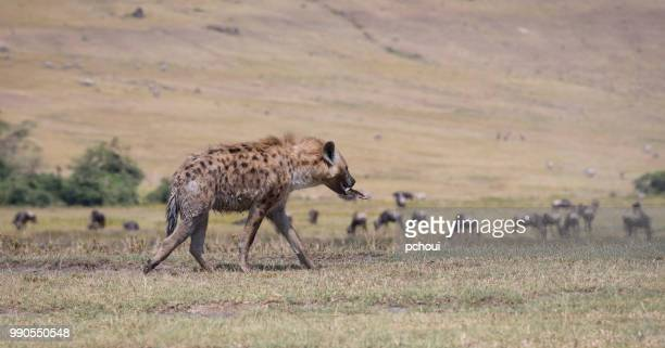 hyena walking with bone, africa - hyena stock pictures, royalty-free photos & images