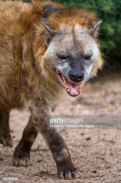 Hyena with funny face
