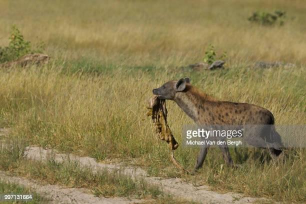 Hyena with zebra intestine