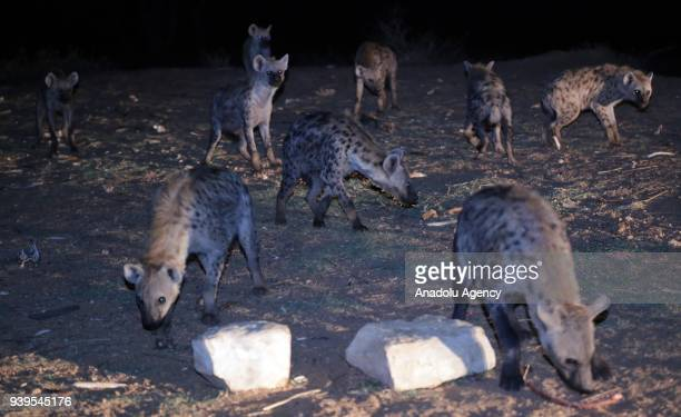 Hyenas fed by Ethiopian Ahmad Yusef are seen in their lair in Harar Ethiopia on March 28 2018