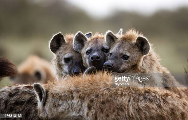 hyenas in the wild. - wild dog stock pictures, royalty-free photos & images