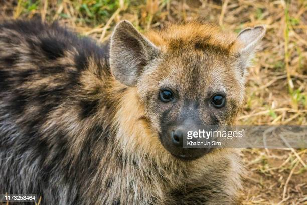 hyenas - hyena stock pictures, royalty-free photos & images
