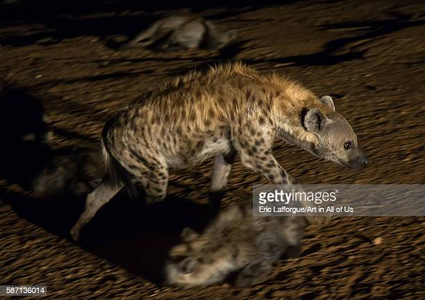 Hyenas running away in the night harari region harar Ethiopia on March 3 2016 in Harar Ethiopia