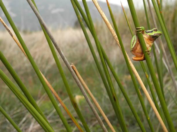 Hyla arborea, European tree frog on reeds