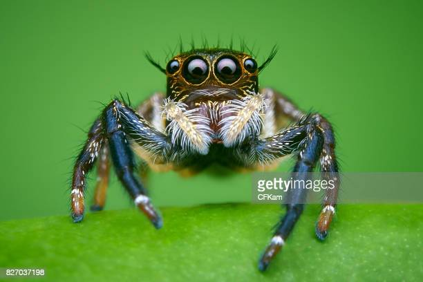 hyllus jumping spider - spider stock pictures, royalty-free photos & images