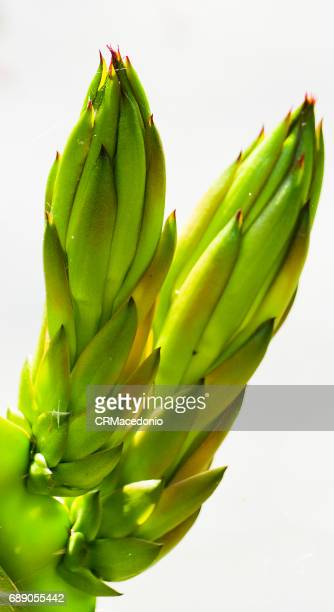 hylocereus - crmacedonio stock pictures, royalty-free photos & images