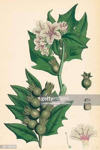 Hyoscyamus niger Common Henbane