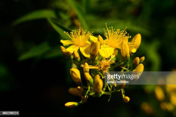 Hypericum canariense is a species of St. John's-wort known by the common name Canary Islands St. John's-wort. It is a flowering plant in the family Hypericaceae