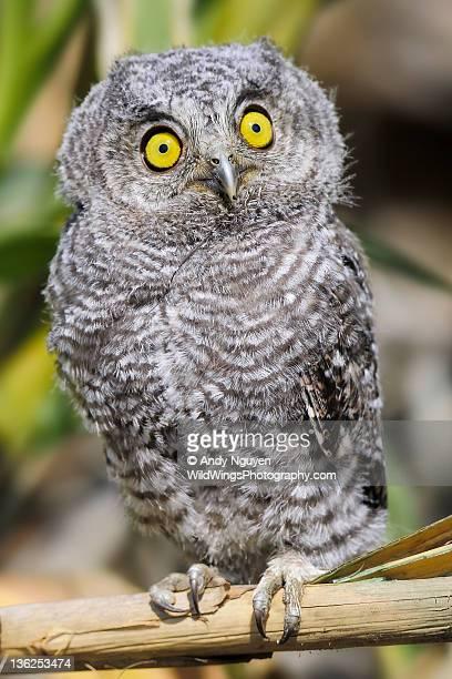 Hypnotizing Owlet