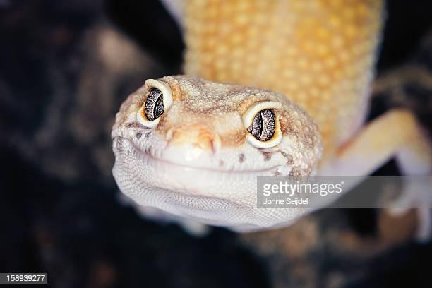 Hypo Leopard Gecko - Eublepharis macularius