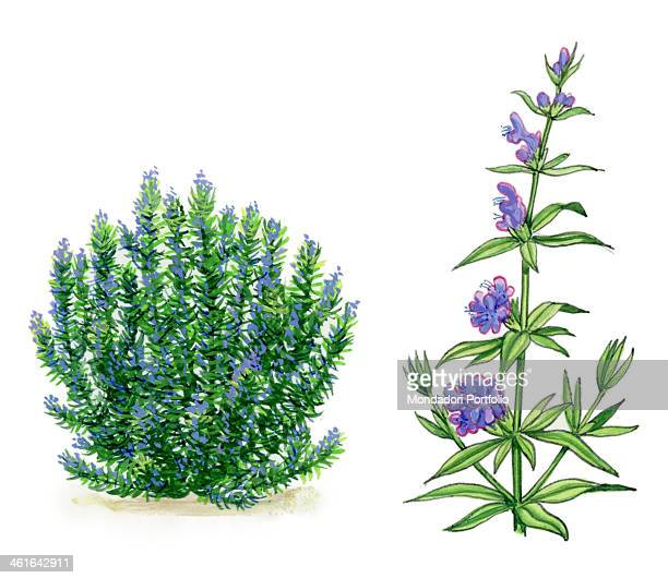 Hyssop by Giglioli E 20th Century ink and watercolour on paper Whole artwork view Drawing of the plant and the flower of hyssop