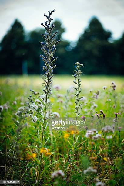Hyssop on a meadow