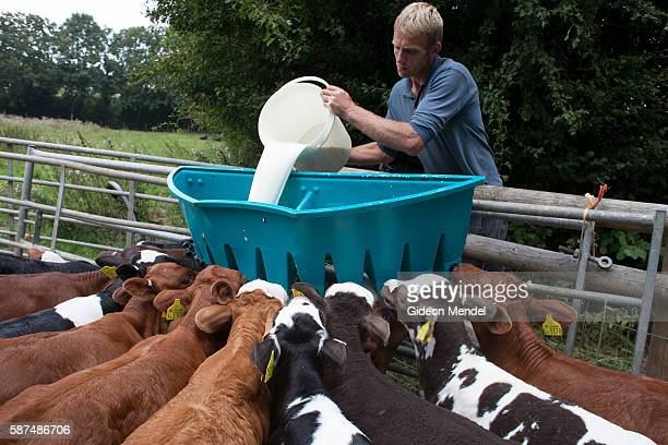 Ian Hobbs dairy farm manager and herdsman at Riverford Farm feeds milk to their calves Riverford Farm is one of the best known and most successful...