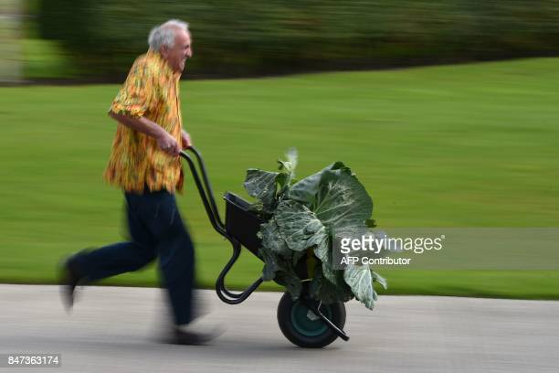 Ian Neale manoeuvres his 254kg cabbage which won its class in the giant vegetable competition on the first day of the Harrogate Autumn Flower Show...
