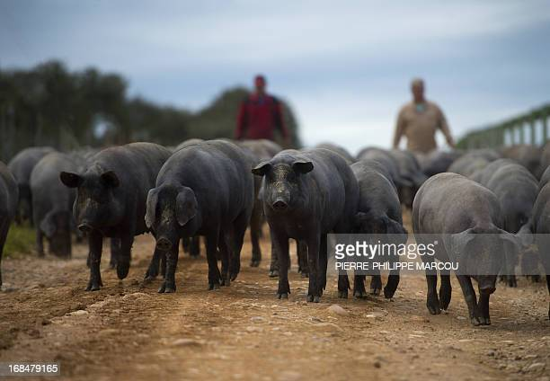 Iberian black pigs walks near Santa Teresa on May 7 2013 The exquisite cured ham produced from this breed which is found in Spain and Portugal and...