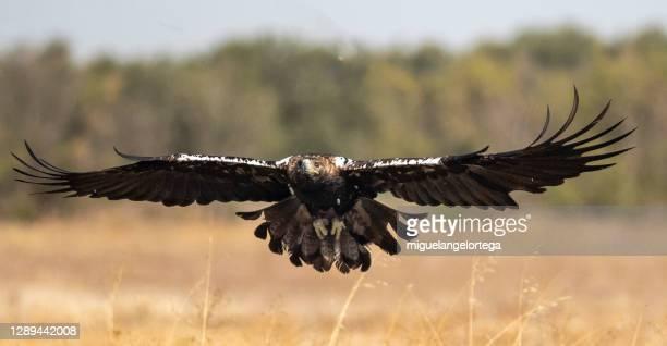 iberian imperial eagle flying - miguelangelortega fotografías e imágenes de stock