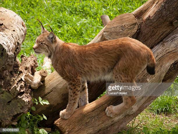 iberian lynx above a dry trunk - mottled skin stock pictures, royalty-free photos & images