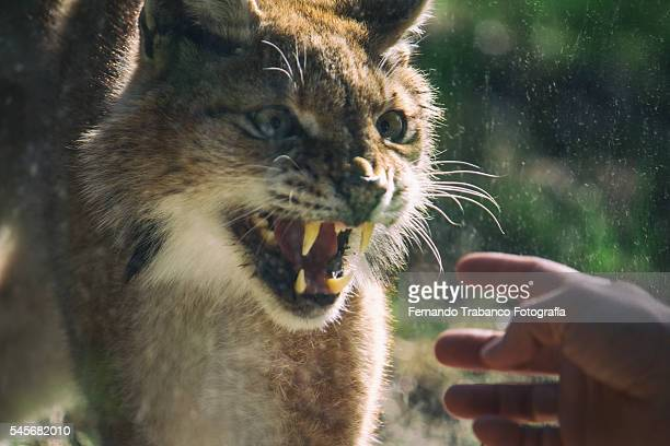 Iberian lynx attacks the hand of a man