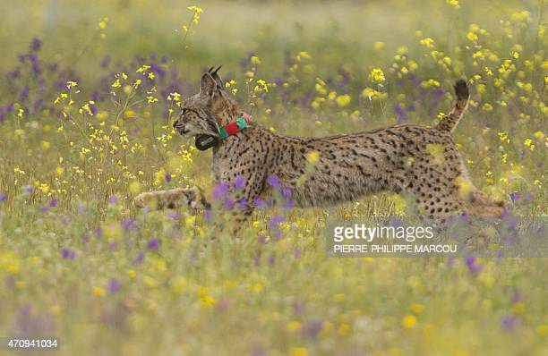 Iberian lynx Lila takes its first steps after being released on a farm near the village of Mazarambros near Toledo on April 24 2015 part of an...