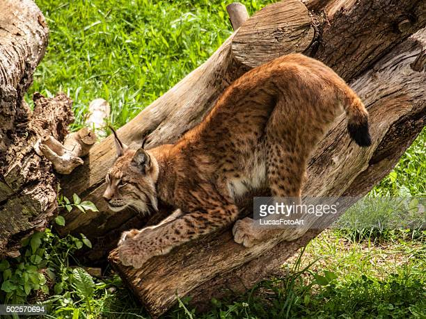 iberian lynx - mottled skin stock pictures, royalty-free photos & images